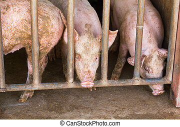 dirty pigs in a dirty stable at a farm, Thailand