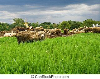 sheep in grass field