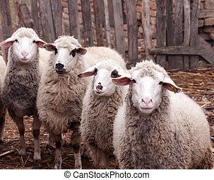 Dirty sheeps