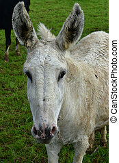 Dirty White Donkey Standing in a Field on a Farm