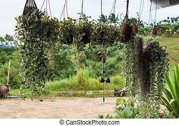 Dischidia nummularia Variegata Hanging under the roof.