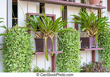 Dischidia ruscifolia or dave plant decorate on wall -...