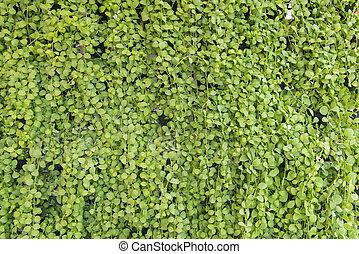 Dischidia ruscifolia or million hearts plant natural...
