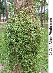 Dischidia ruscifolia or million hearts plant on tree.