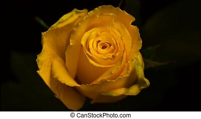 Disclosure of the flower rose. Accelerated shooting. Quickly...