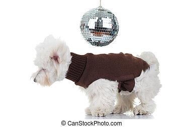 disco bichon puppy dancing