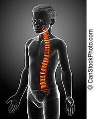 disco, intervertebral, espinazo, anatomía