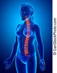 disco intervertebral, espinazo, niña, anatomía, joven