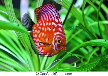 discus fish - beautiful discus swimming in an aquarium