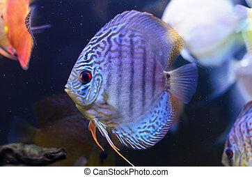 Discus fish, blue Symphysodon Discus in  aquarium.
