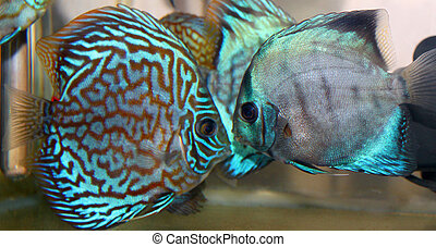 Discus fish - Blue turquoise discus fish