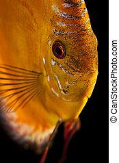 Discus fish - close up