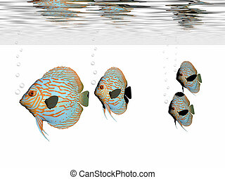 DISCUS FISH - A group of discus fish swim together in an...