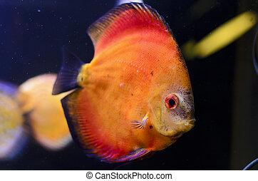 Discus fish, orange Symphysodon Discus in aquarium.