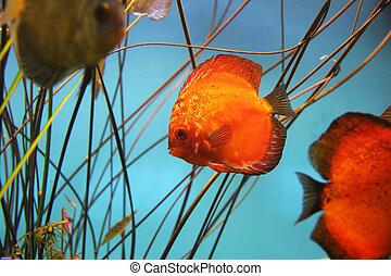 Discus fish - Fire red discus fish