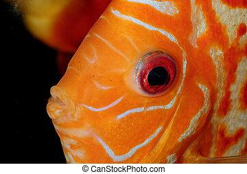 Discus fish portrait - Very nice portrait of orange discu...