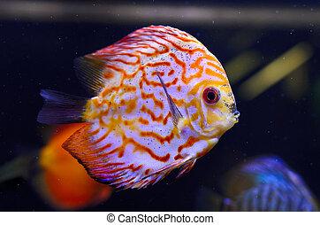 Discus fish, red Symphysodon Discus in aquarium.