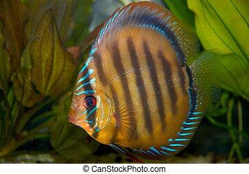 Discus fish in tank