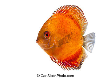 Discus fish - Single discus fish - cut out