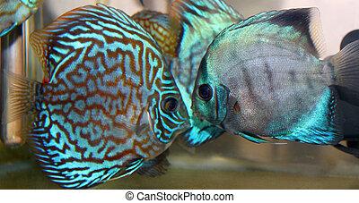 Discus fish - Blue turquoise discus fish
