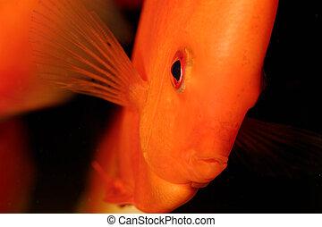 Discus fish - Very nice portrait of orange discu fish.