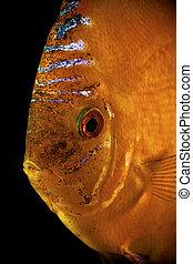 Discus fish,