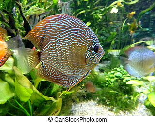 discus fish, colorful tropical discus fish ,