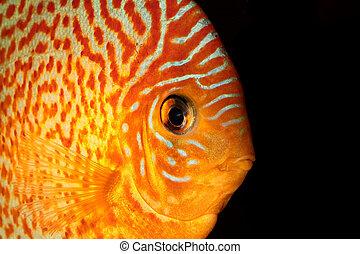 Discus fish - Detailed portrait of orange discus fish head.