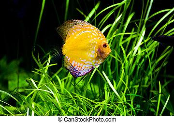 Discus fish - Aquarium shot of a coral fish. Pigeon Blood...