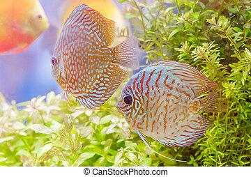 Discus fish (Symphysodon) swimming in an aquarium