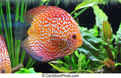 discus - portrait of a red tropical Symphysodon discus fish...