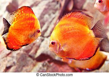 Discus fish close up (Symphysodon spp.)