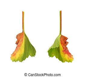 Diseased leaf of  Pelargonium