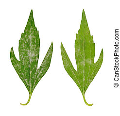 Diseased leaf of  Rudbeckia laciniata flore pleno  fungal attacked