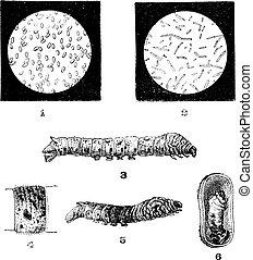Diseases of Silkworms, vintage engraving - Diseases of...