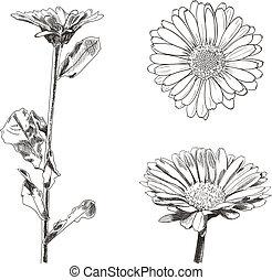 disegni, stile, set, isolated., disegni, vettore, fiori, botanico