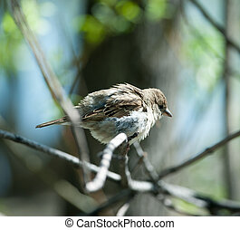 disheveled sparrow sitting on a tree