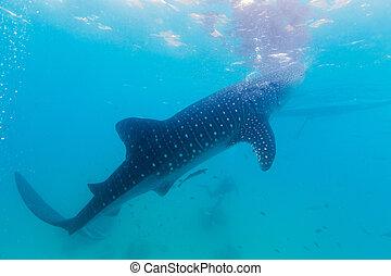 disparar, submarinas, rhincodon, tubarões, (, typus), gigantesco, baleia