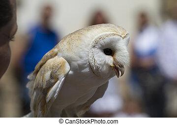display of birds of prey, screech owl