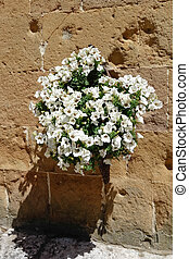 Display of white Petunias attaced to a wall in Pienza