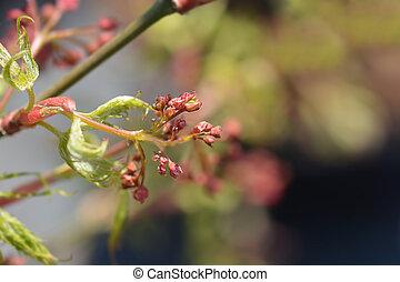 Dissectum Japanese Maple - Latin name - Acer palmatum Dissectum