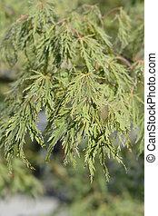 Dissectum Viridis Japanese Maple - Latin name - Acer palmatum Dissectum Viridis