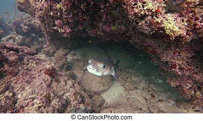 dissimulation, entre, 3840x2160, émerge, vidéo, coral., sauvage, porcupinefish