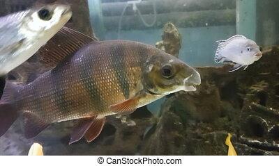 Distichodus is genus of fish in the Distichodontidae family