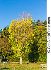 Distinctive Autumn Tree 2 - A tree with autumn leaves stands...