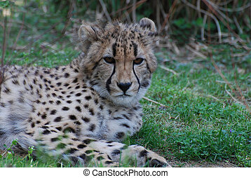 Distinctive Markings on the Face of a Cheetah