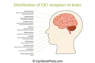 Distribution of CB1 receptors in brain, healthcare and ...