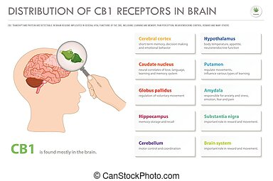 Distribution of CB1 Receptors in Brain horizontal business ...
