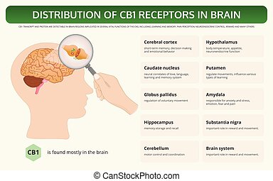 Distribution of CB1 Receptors in Brain horizontal textbook ...