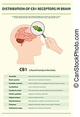 Distribution of CB1 Receptors in Brain vertical infographic ...